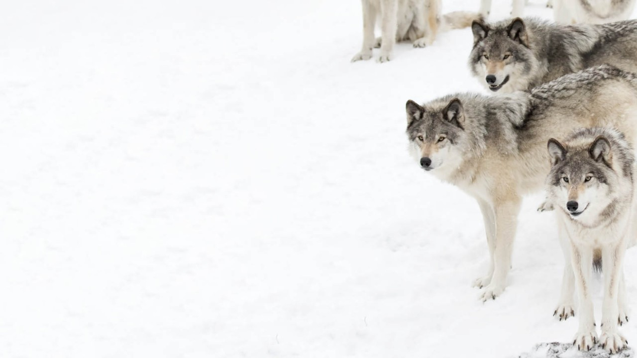 Wolf packs in the wild: perfect models of teamwork